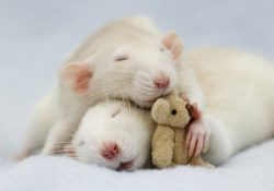 adorable-rat-pictures-4